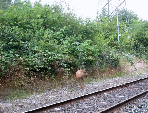 Doe on the Springwater Corridor