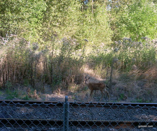Another but smaller Doe on the Springwater Corridor