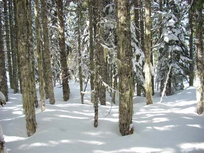 Snowshoe through the trees near P.C.T.
